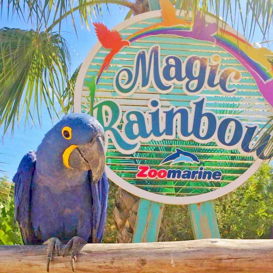 arara azul e amarela jacinta do Magic rainbow no zoomarine
